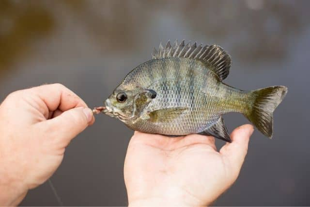 how to catch panfish